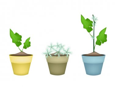 Three Lovely Ivy Gourd in Ceramic Flower Pots
