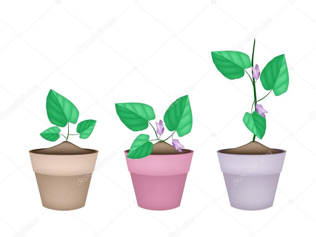 Centrosema Pubescens Plant in Ceramic Flower Pots