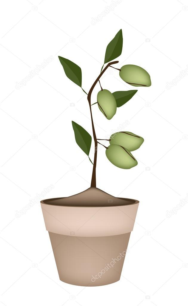 Unripe Almonds on Tree in Ceramic Flower Pots