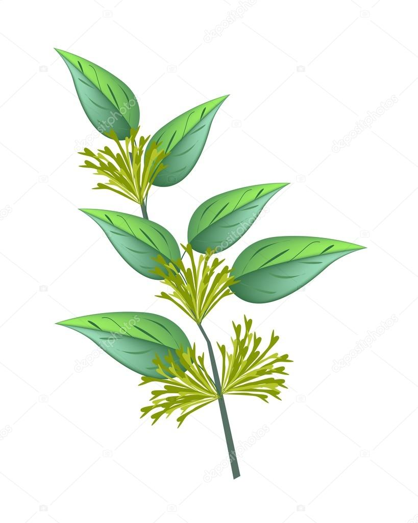 Bunch Of Night Blooming Jasmine On White Background Stock Vector