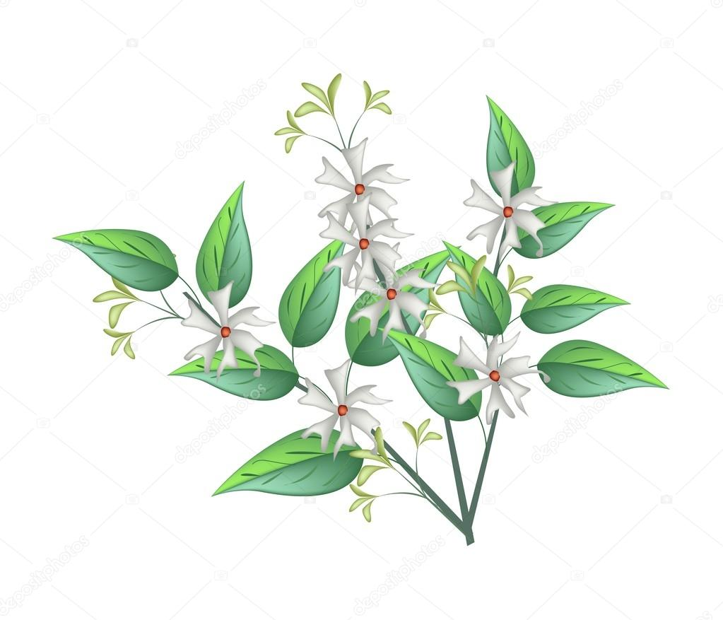 Night Blooming Jasmine On A White Background Stock Vector Iamnee