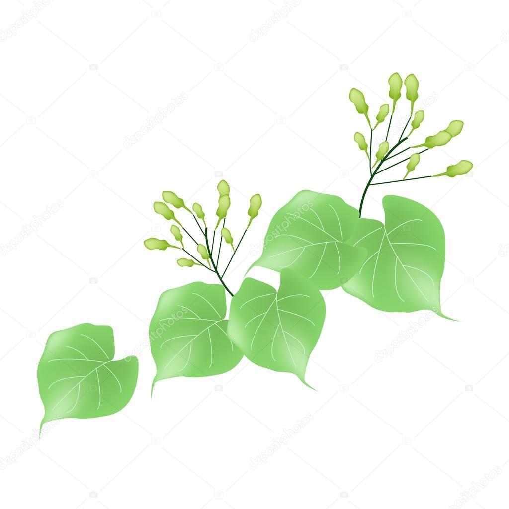 Hoya Carnosa o gelsomino del Madagascar su priorità bassa bianca ...