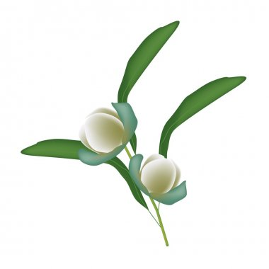 Beautiful Flower, Illustration of Magnolia Coco Flowers with Green Leaves Isolated on White Background. stock vector