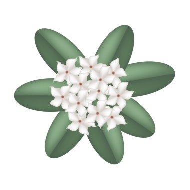 White Madagascar Jasmine Flowers on A White Background