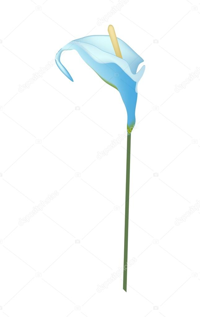 Blue Anthurium Flower or Flamingo Flower on White