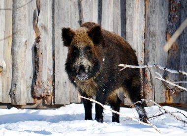 Wild animals Siberia