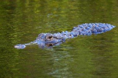 Alligator (Alligator mississippiensis) swimming