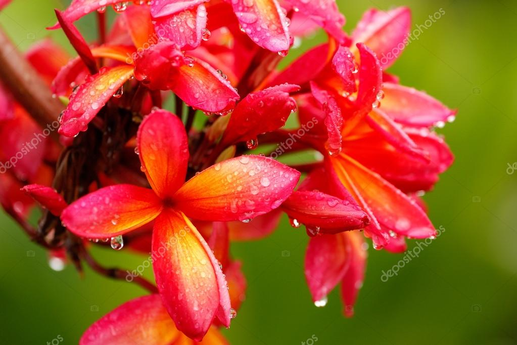 Pink plumeria flowers with water drops