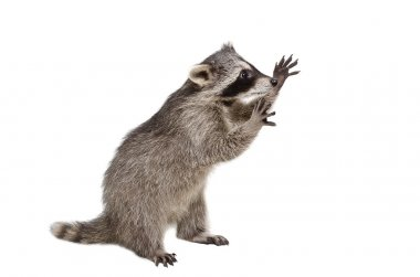 Funny raccoon standing on his hind legs