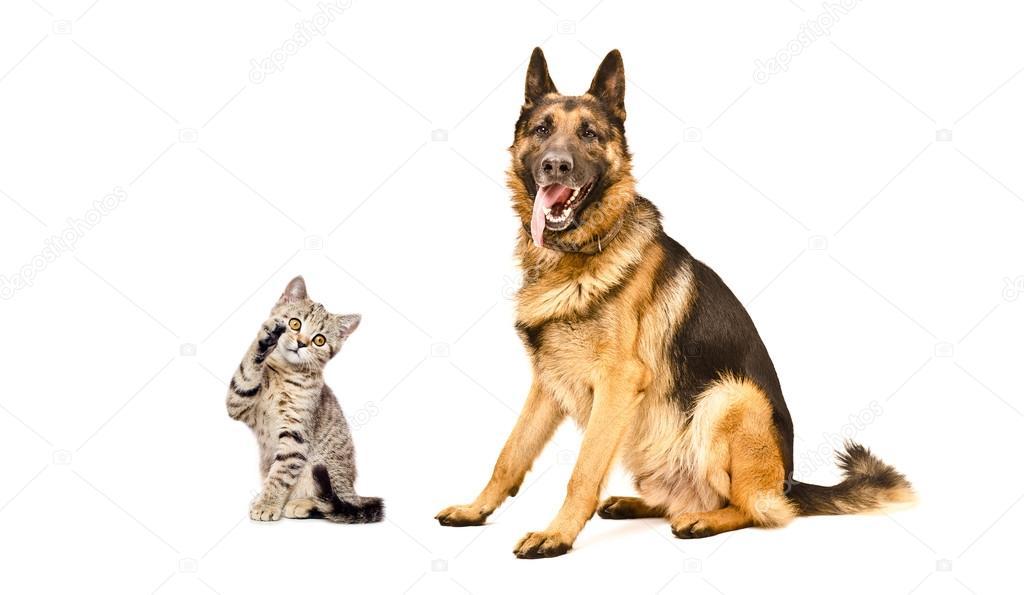 German Shepherd dog and playful kitten Scottish Straight