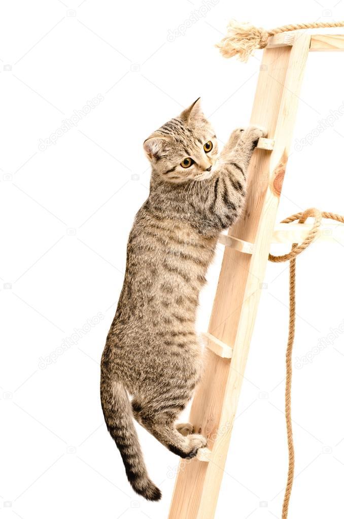 Scottish Straight kitten climbing the wooden stairs