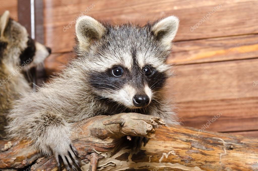 Portrait of a adorable raccoon