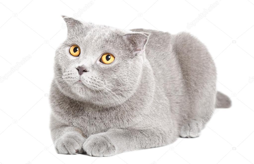 Adorable blue Scottish Fold cat