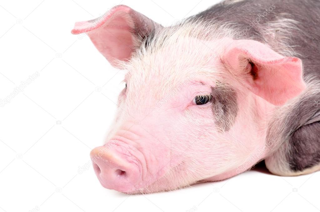 Portrait of a cute piglet, closeup