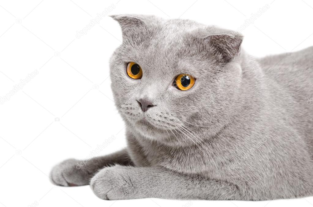 Portrait of a blue cat Scottish Fold, closeup