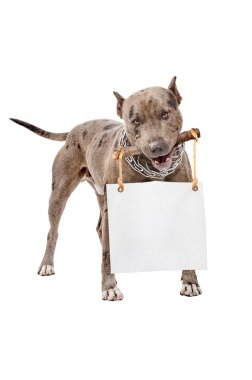 Pit bull with a placard in the teeth