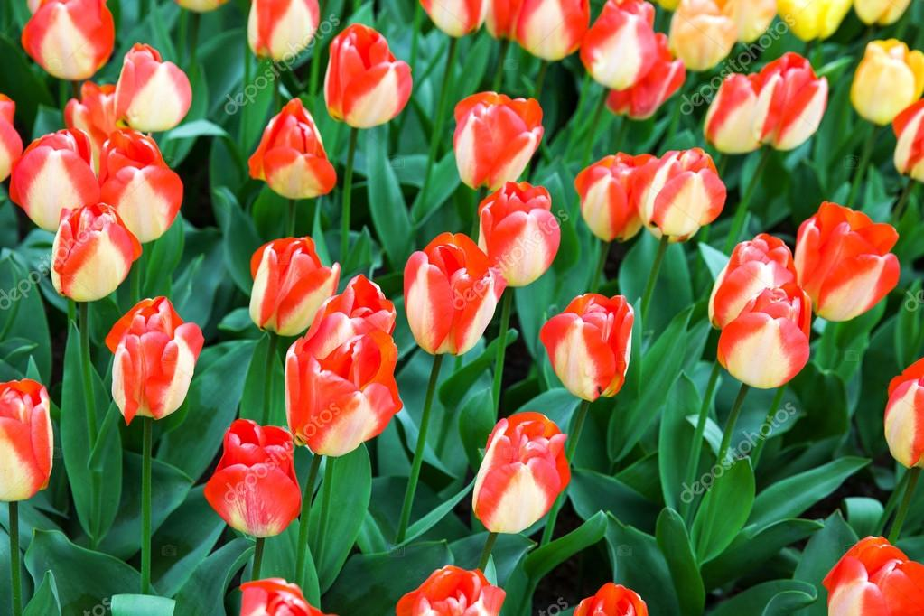 Field of unusual  tulips in the spring