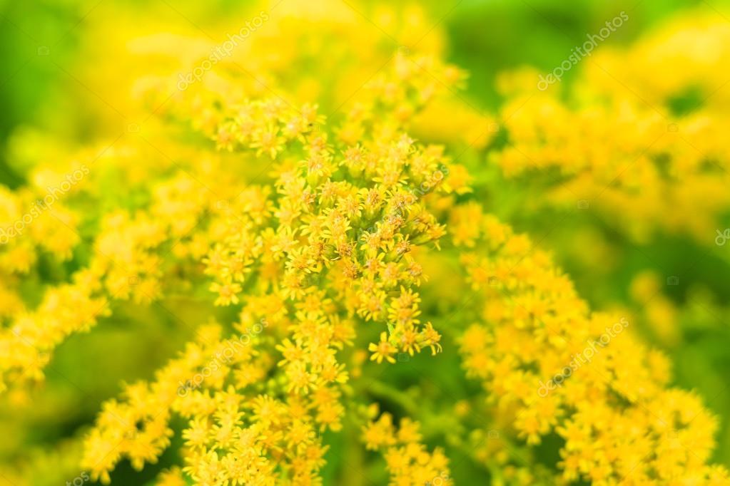 Flowering Solidago gigantea. Background. Focus on the center.