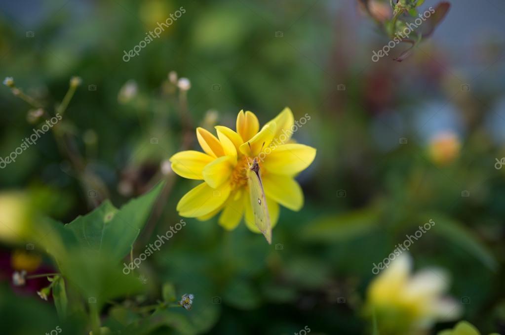 Butterfly feeding on yellow Flower.