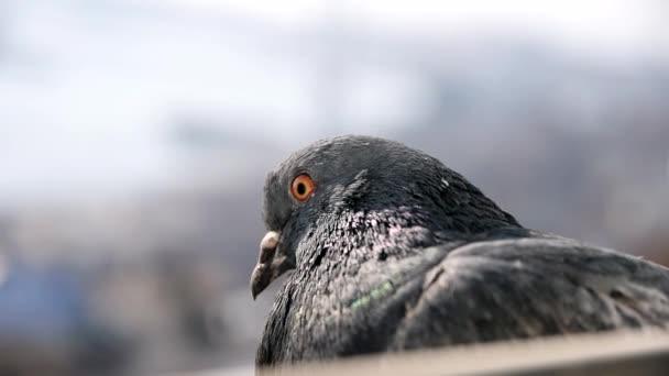 Grey city pigeon.