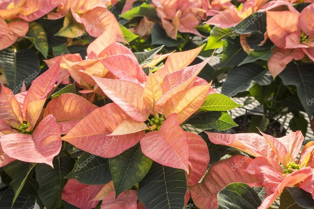 Peachy Colored Christmas Poinsettias In Pots On Display Stock