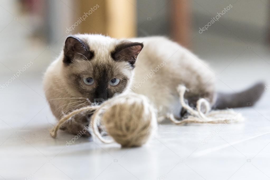 ładny Kot Syjamski Zdjęcie Stockowe Chendongshan 114719818