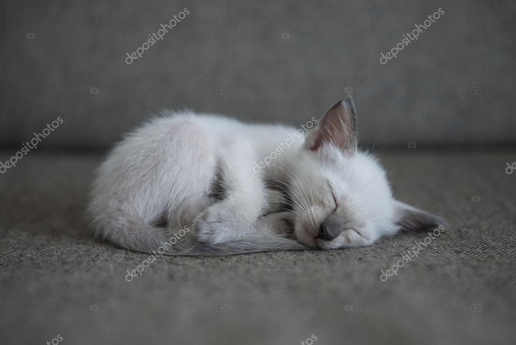 Cute Siamese Cat Kittens Stock Photo C Chendongshan 114816924