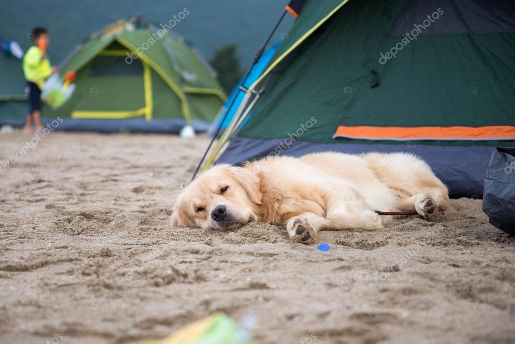 The dog in tent u2014 Stock Photo & The dog in tent u2014 Stock Photo © chendongshan #120329798