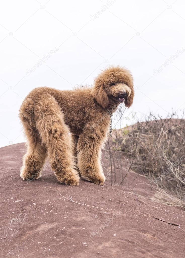 Ein Hund Teddy Stockfoto Chendongshan 91628104