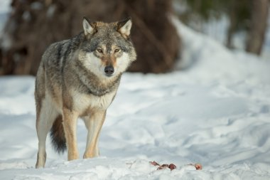 A Lone Wolf
