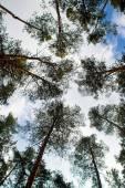 Fotografie Podíváme se v borovém lese stromu. Podle modré oblohy jasno