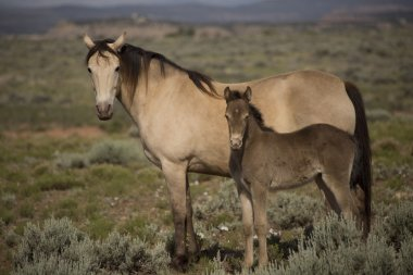 champange horse mare and baby