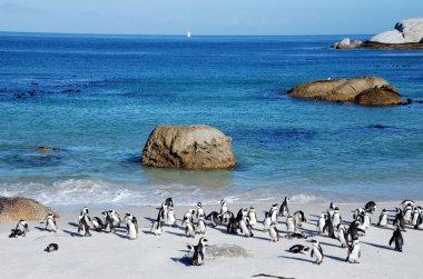 Penguin colony on the ocean beach near Capetown