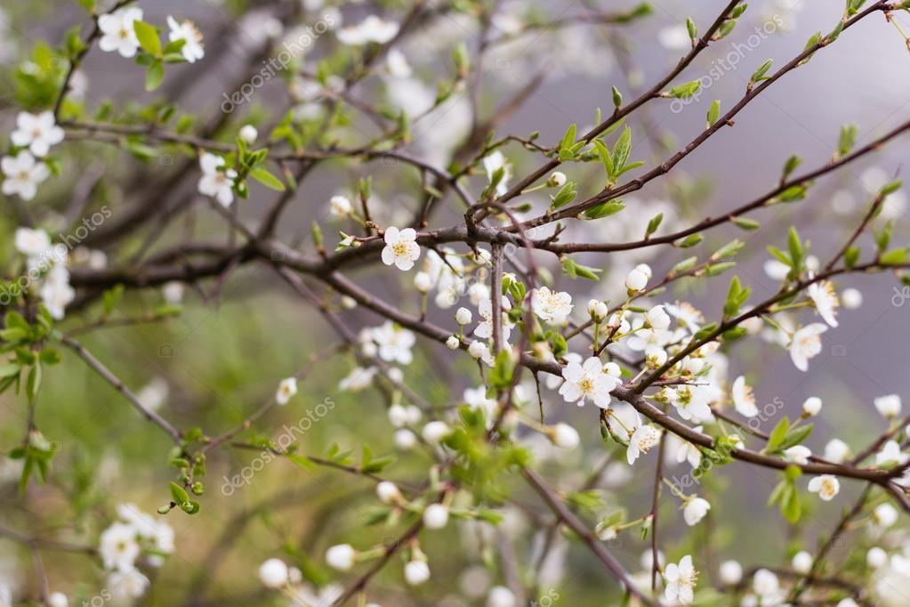 Baum mit weißen Blüten und grünen Blatt Frühling — Stockfoto ...