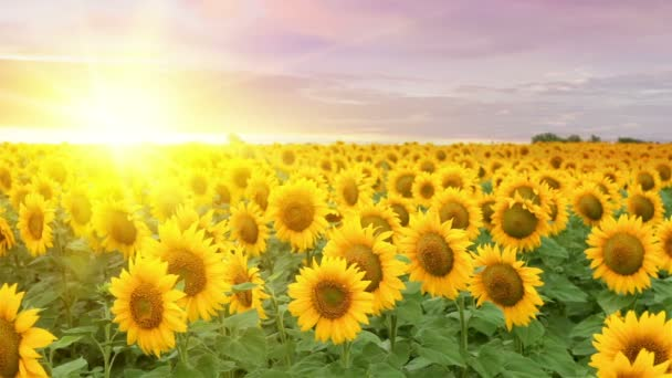 The Blooming sunflowers.