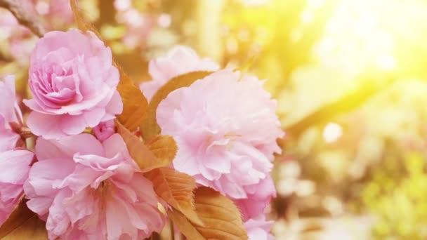 Blüte Kirschblüten.