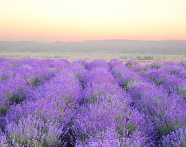 Beautiful image of lavender