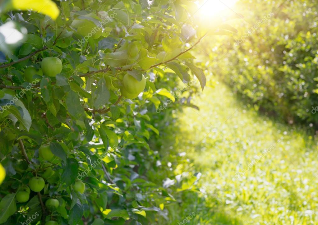 Apple trees.