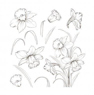 Set of line drawing narcissus, vector illustration