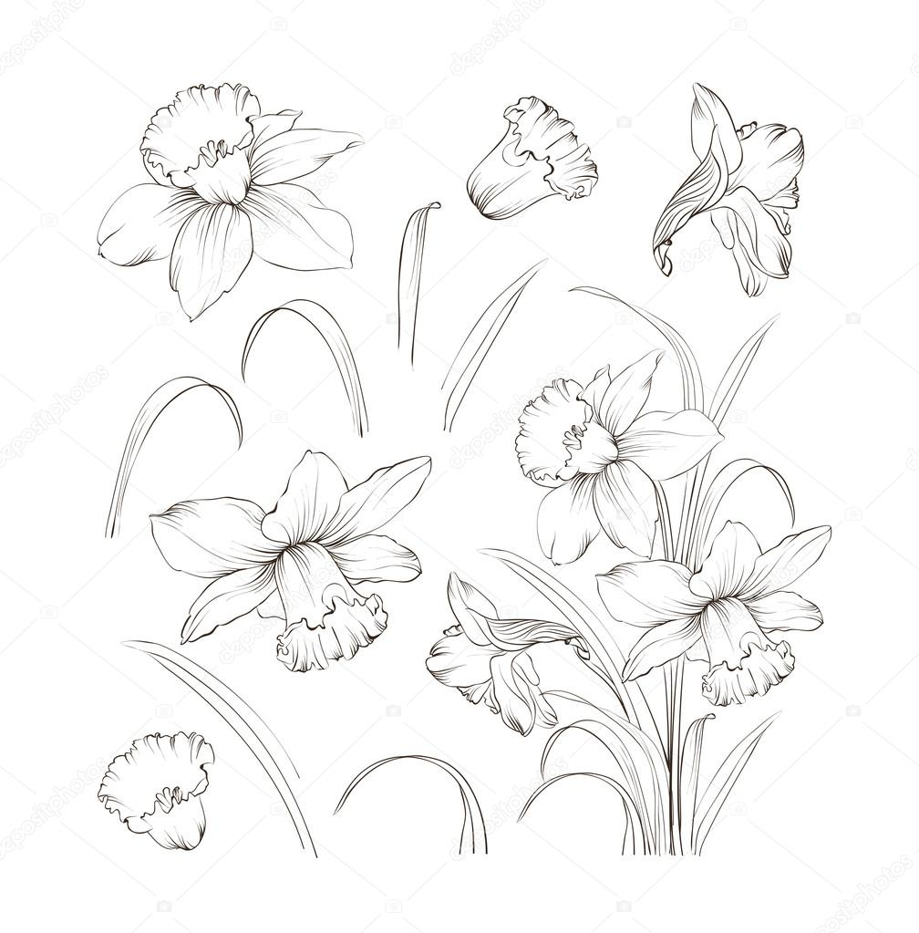 Set of line drawing narcissus, vector illustration