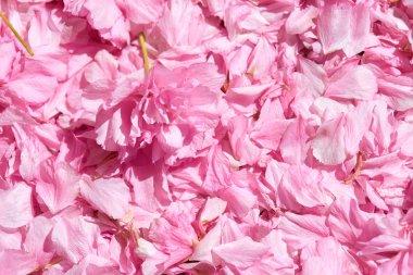Sakura flower petal background, bright sunlight, macro photo