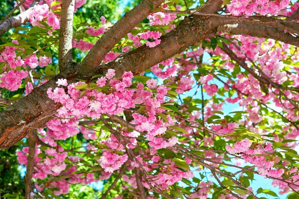 Sakura Branches En Fleurs Dans Un Jardin Fleuri Paysage Magnifique