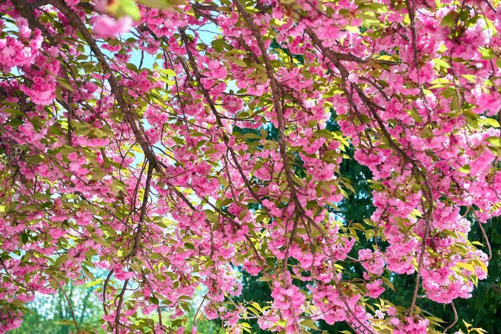 Sakura Ramos De Flores Em Um Jardim De Flor Paisagem Linda