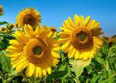 Slunečnice pole krásné letní krajina
