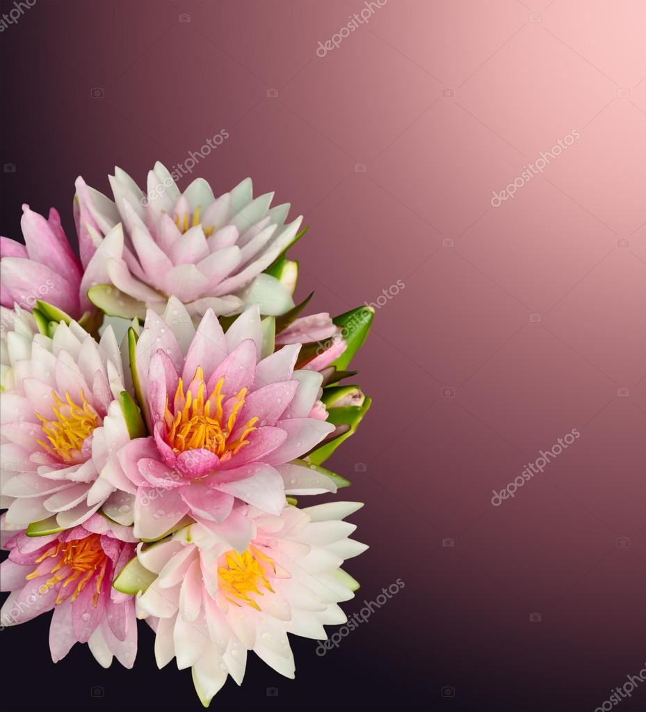 Beautiful lotus on radial gradient background with working path