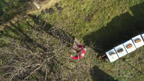 Above top view on elderly farmer, gardener as move long ladders for better position to pruning branches of fruit trees using loppers in orchard at early springtime.