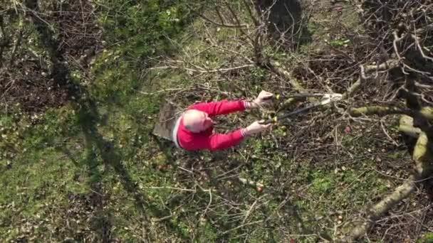 Felülnézetből idős gazdák, kertész, mint metsző ágak gyümölcsfák segítségével hosszú lopók a gyümölcsösben kora tavasszal.