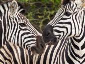 Zebra hlava