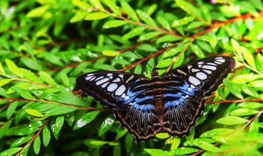 Butterfly blue banded