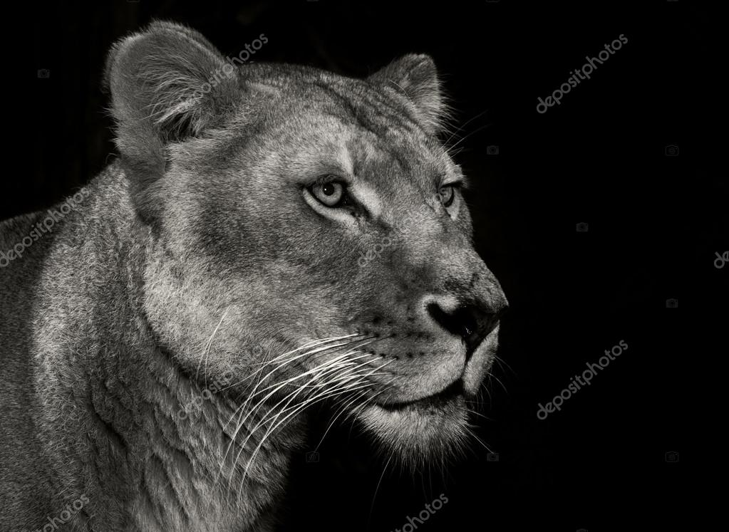 arrogant lion in black and white
